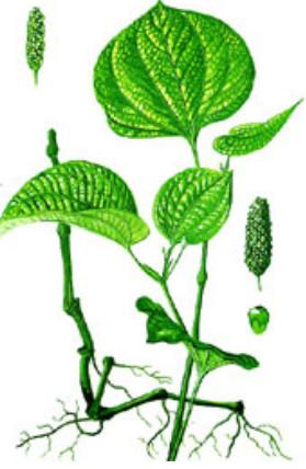 rễ thân cây lá lốt